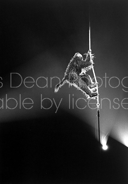 Circus Monkey on rope performing during circus at Madison Sq. Garden.