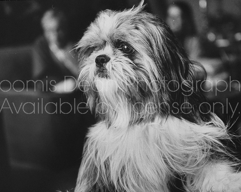Close up picture of a small and hairy terrier belonging to the home of director John Huston.