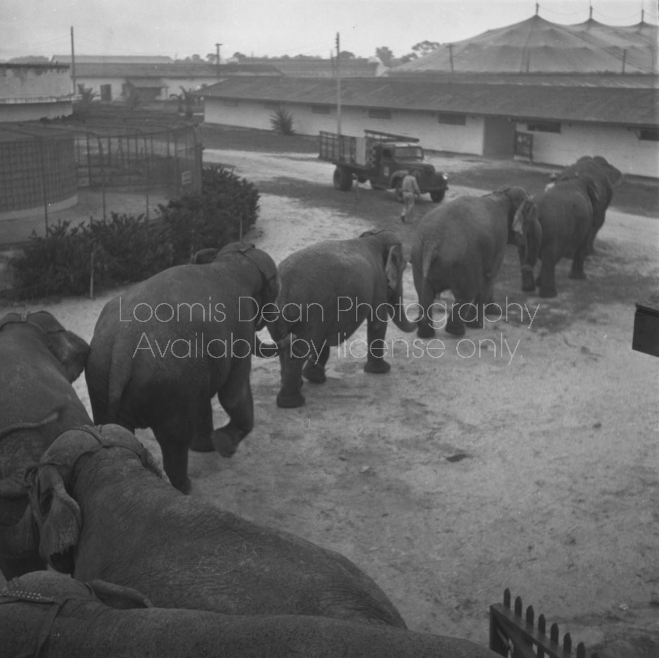 RINGLING CIRCUS ELEPHANTS 125