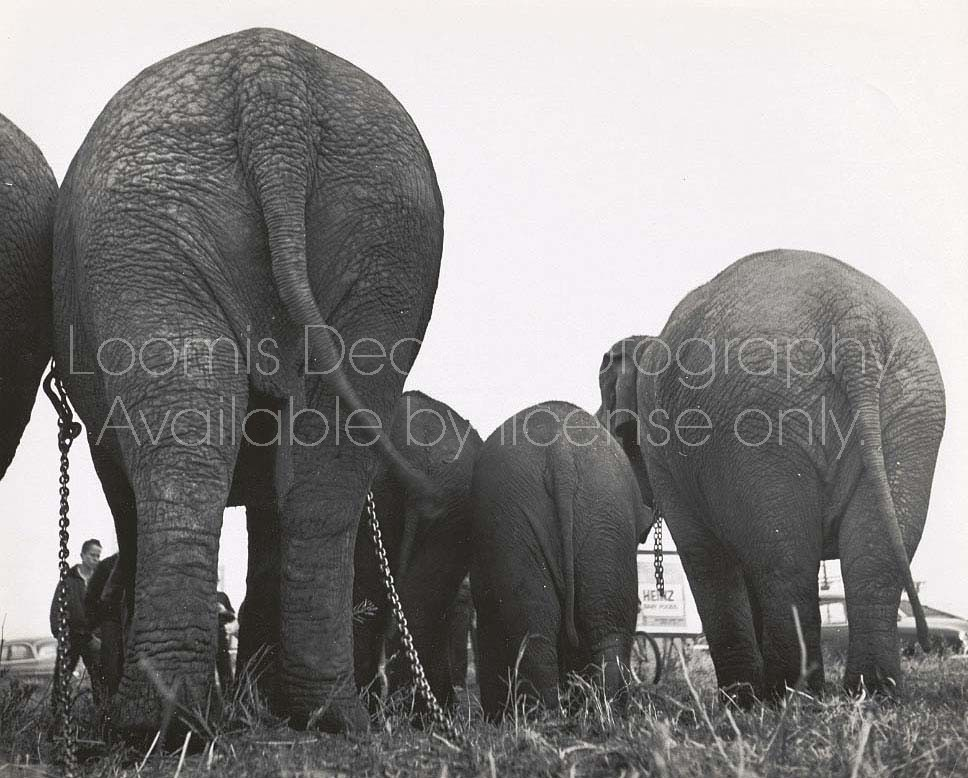 RINGLING CIRCUS ELEPHANTS REAR VIEW S