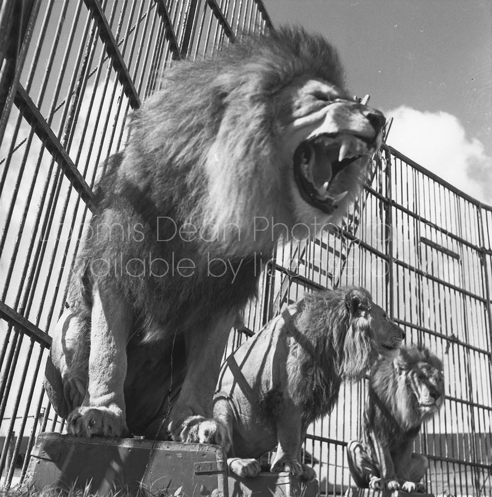 RINGLING CIRCUS ROARING LION 071
