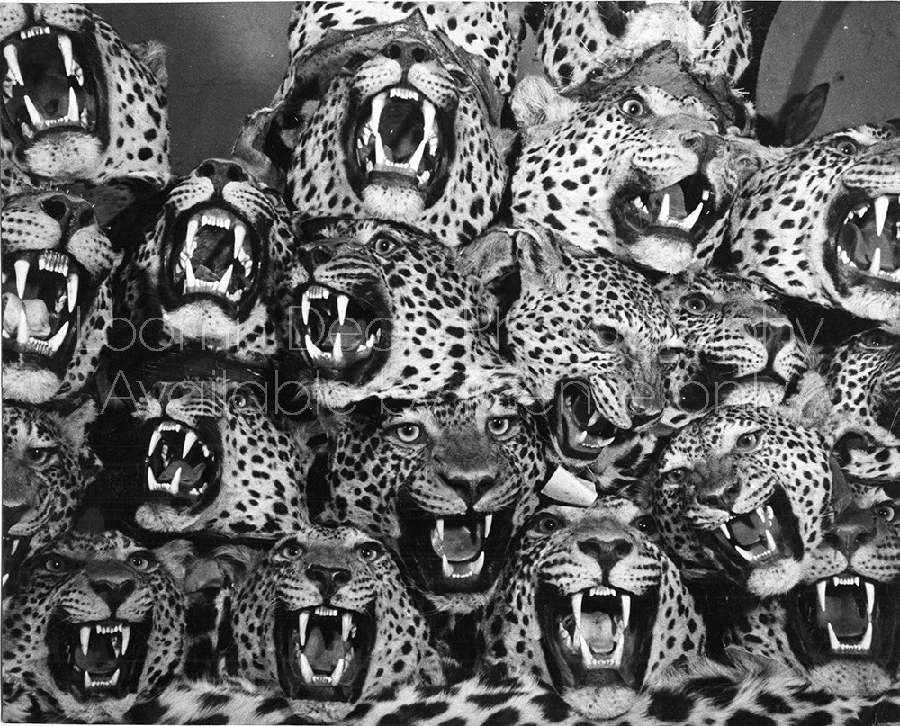 TAXIDERMIED LEOPARDS IN NAIROBI 445