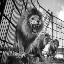Circus lions in a cage performing their act.