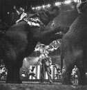 Circus Elephants parading at Madison Sq. Garden.