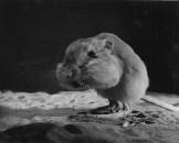 KANGAROO RAT SONORA DESERT ARIZONA 459