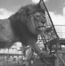 RINGLING CIRCUS LIONS 069