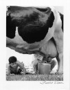 BOY WATCHES INTENTLY AS MAN MILKS COW