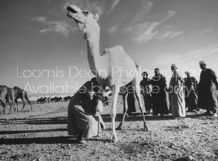 Moroccan traders examining white camel at market.