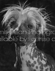 CRESTED MEXICAN HAIRLESS DOG 448