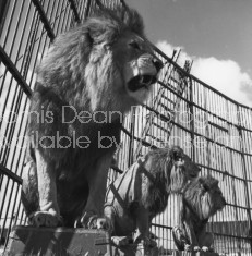 RINGLING CIRCUS LIONS 070
