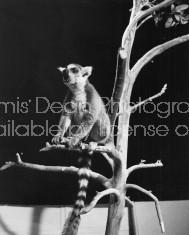 MADAGASCAR LEMUR S 441